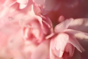 Sakuras floreciendo en la primavera en Úzhgorod