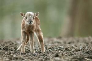 У парку природи на Чернігівщині від надмірної уваги відвідувачів загинуло дитинча муфлона