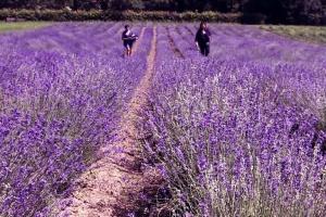 На Буковині висадили півтора гектара французької лаванди