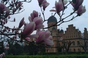Возле Черновицкого университета расцвели популярные среди туристов магнолии