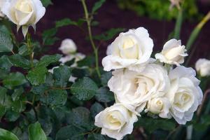 У Славутичі та Прип'яті висадять 200 кущів символічних білих троянд