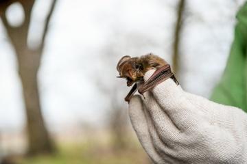 На Хортице выпустили на волю более 700 краснокнижных летучих мышей