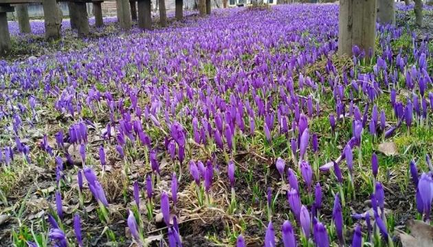 На Закарпатті квітне Долина шафранів у Колочаві
