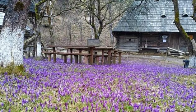 Transkarpatien: Krokusblüte im Bergdorf Kolotschawa