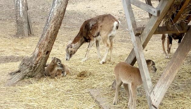 У вінницькому зоопарку з'явились на світ четверо дитинчат муфлонів