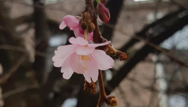 На Закарпатье расцветают первые сакуры, пик цветения – через две недели