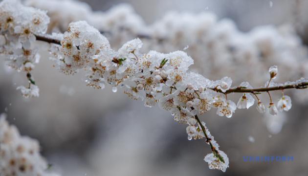 На Закарпатье снег засыпал дерева, котоые успели зацвести