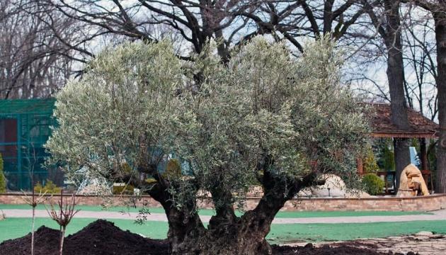 У Харкові висадили 367-річну оливу - ровесницю міста