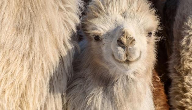 У зоопарку Маріуполя народилося верблюденя
