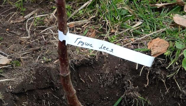 На Чернігівщині висаджують «Лесині груші»