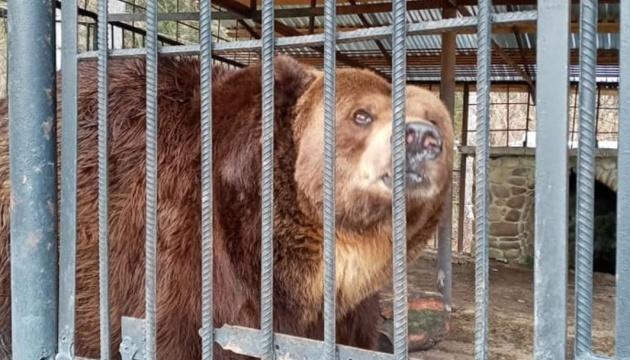 Ведмідь Юра, якого забрали у притулок «Синевир», живе у малій клітці й потребує кращого раціону
