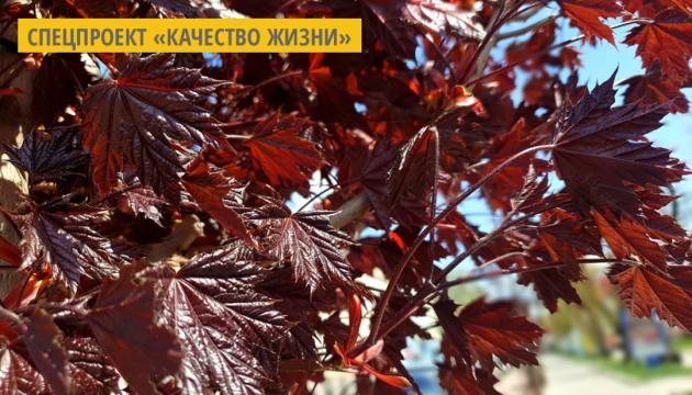 Центр Тернополя украсят краснолистные клены