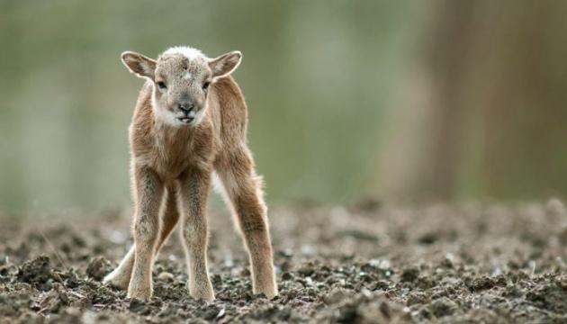 В парке природы на Черниговщине от чрезмерного внимания посетителей погиб детеныш муфлона