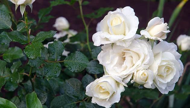 В Славутиче и Припяти высадят 200 кустов символических белых роз