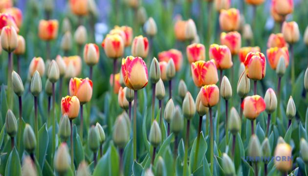Тюльпанові поля Буковини розквітли майже на третину, вихідними – відкриття