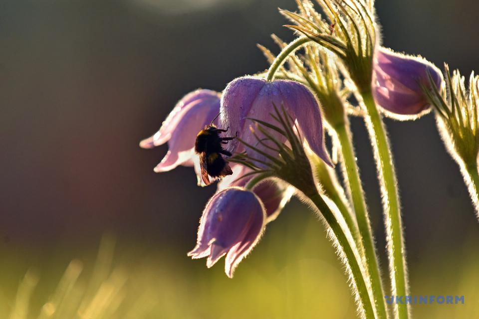 Eastern pasque flower after rain / Photo: Olena Khudiakova, Ukrinform