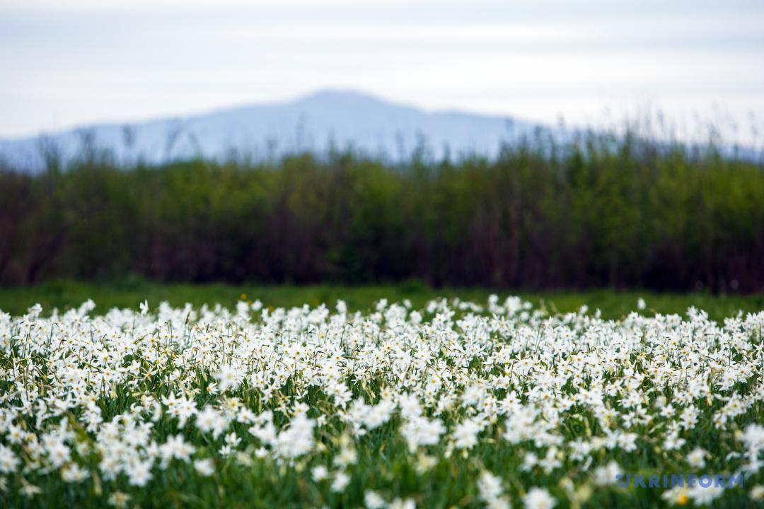 Долина нарцисів / Фото: Сергій Гудак
