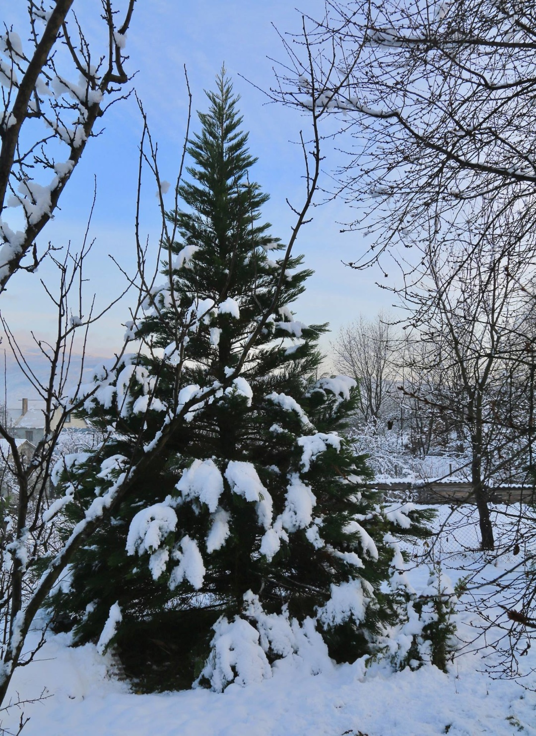 Мамонтове дерево взимку