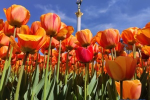 Auf Maidan und Michaelplatz 100.000 Tulpen aufgegangen