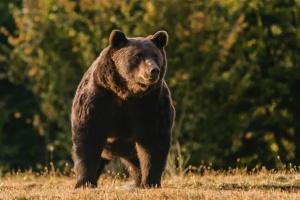 Принца Ліхтенштейну звинуватили у вбивстві найбільшого ведмедя в Євросоюзі
