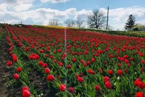 На Хмельниччині розквітло тюльпаново-нарцисове поле