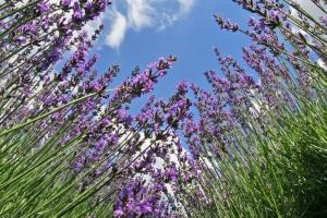 Найбільше в Україні лавандове поле висадили на Буковині