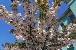 У Херсоні розцвіли сакури, подаровані японцями