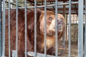 У реабілітаційному центрі «Синевир» помер косівський ведмідь Юра