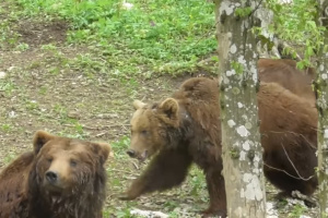 Трьох ведмедів з Прикарпаття за рішенням суду перевезли у реабілітаційний центр на Хмельниччині