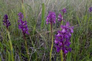 На Кинбурнской косе расцвело самое большое в Европе поле диких орхидей