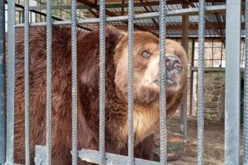 Ведмідь Юра помер через пластик у кишківнику – директор «Синевиру»