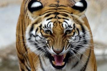 Aujourd'hui marque la Journée internationale du tigre : une espèce en danger critique d'extinction