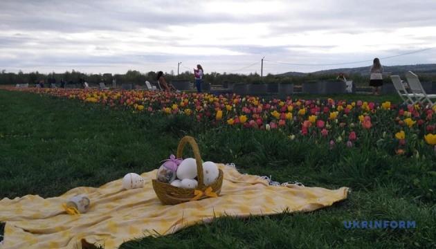 На Буковині розквітли тюльпанові поля