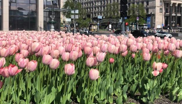 У Києві на честь Героїв Небесної сотні розквітнули 100 тисяч тюльпанів