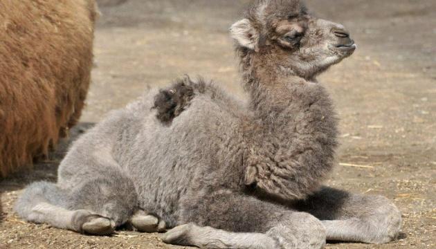 У зоопарку Маріуполя народилось верблюденя