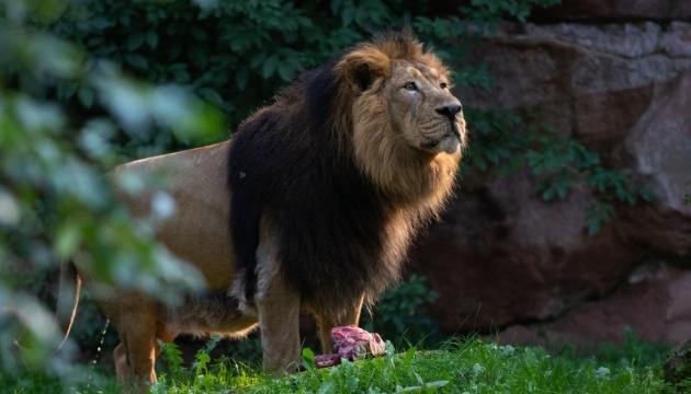 У восьми левів в індійському зоопарку виявили COVID-19