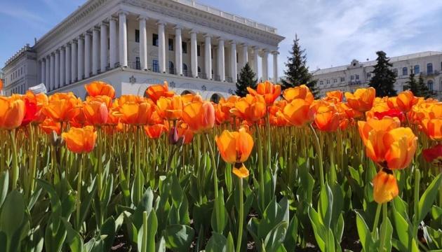 На Майдані та Михайлівській площі розквітли 100 тисяч тюльпанів
