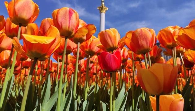Na Majdanie i Placu Michajłowskim zakwitło 100 000 tulipanów