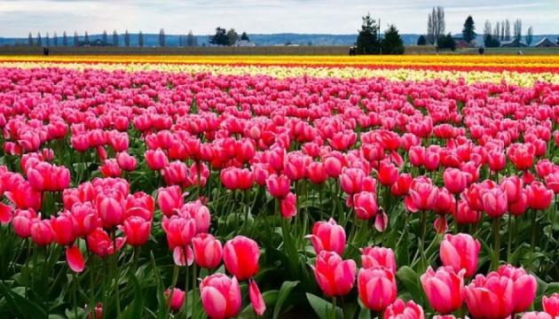 Біля Івано-Франківська вперше розквітає тюльпанове поле