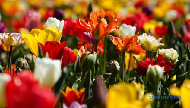 Квітковий рай: як Буковину «завоювали» тюльпанові й лавандові поля