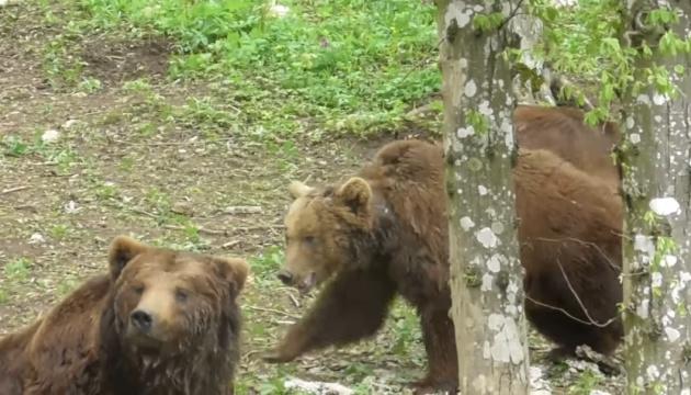 Трех медведей из Прикарпатья перевезли в реабилитационный центр на Хмельнитчине