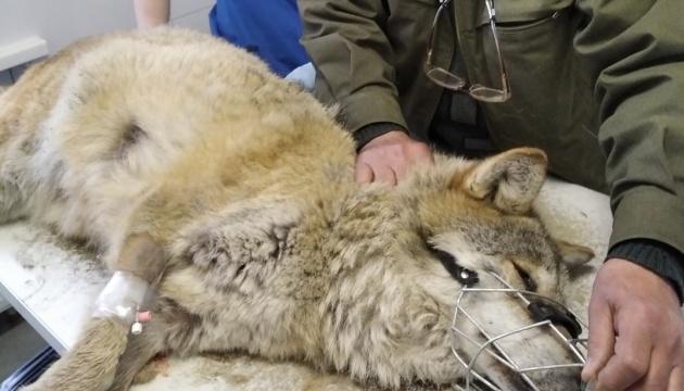 В Галицком природном парке заболела волчица Петра