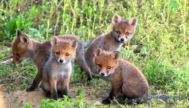 Справа Медведчука, валун для мам і лисички-сестрички