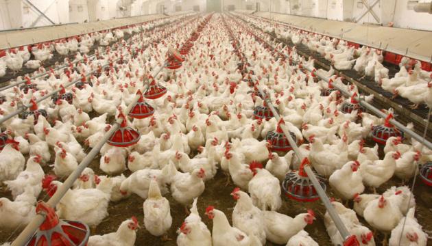Птицеводы надеются на урожай зерновых - МХП