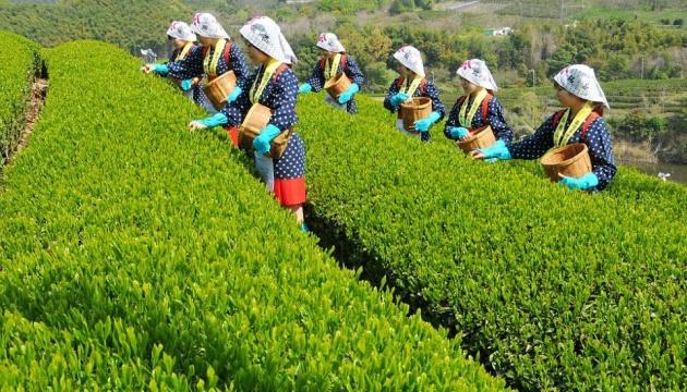 До Міжнародного дня чаю: які дивовижні сорти чаю є у світі