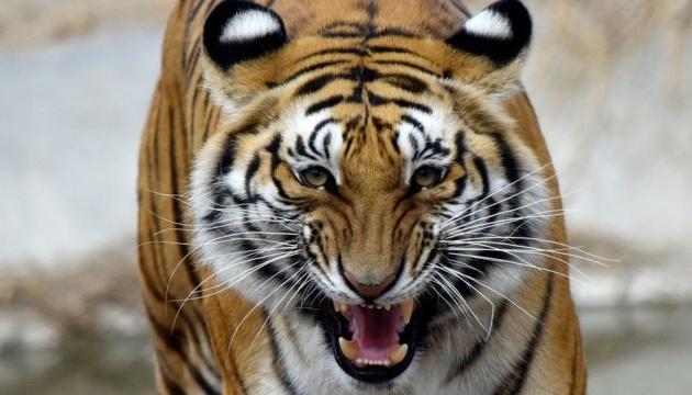 Искали 20 лет: в Бангладеш арестовали браконьера за убийство бенгальских тигров
