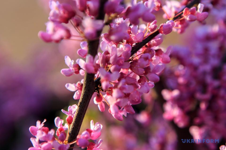 Cercis europeo floreciendo en Úzhgorod / Foto: Sergiy Gudak, Ukrinform