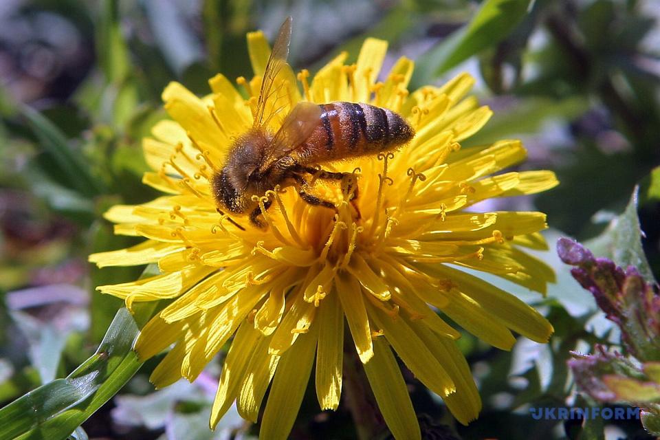A bee on a dandelion / Photo: Inna Borodaieva, Ukrinform