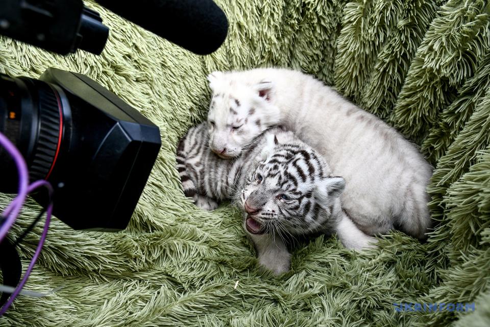 Jeunes tigres au zoo Safari de Berdiansk / Photo: Dmytro Smolyenko, Ukrinform