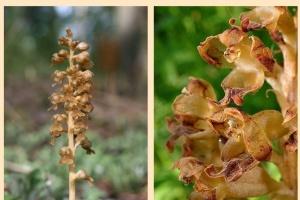 На Житомирщине расцвела краснокнижная лесная орхидея